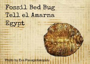 bedbug_from_amarna