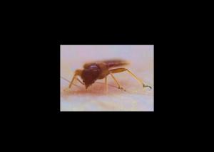 Close-up of adult bed bug feeding, Photo (cc) Jim Humpolicek