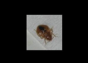 Bed Bug (cc 2.0) StarMaster