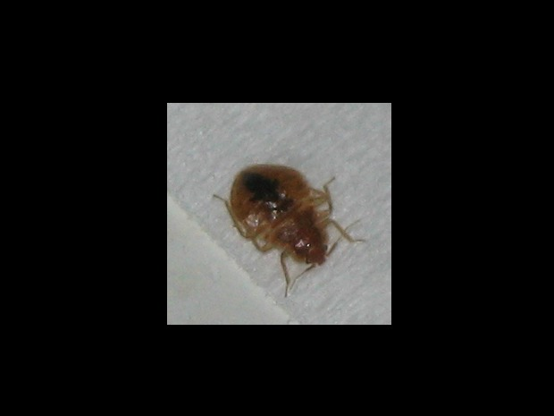 Bed Bug (cc 2.0) StarMaster