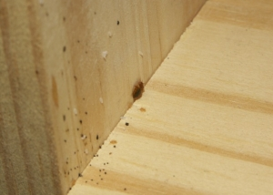 Bed Bug Nymphs and Eggs on Wood, Photo (cc ND-2.0) Louento.Pix